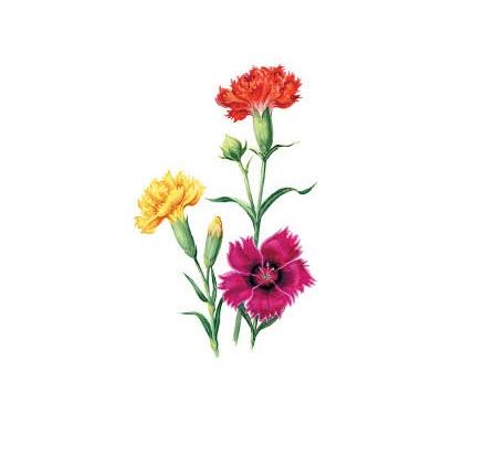 Linguaggio dei fiori #3: Garofano